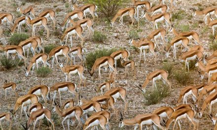 Can you count how many Springboks are travelling together in this mind-boggling wildlife snap?